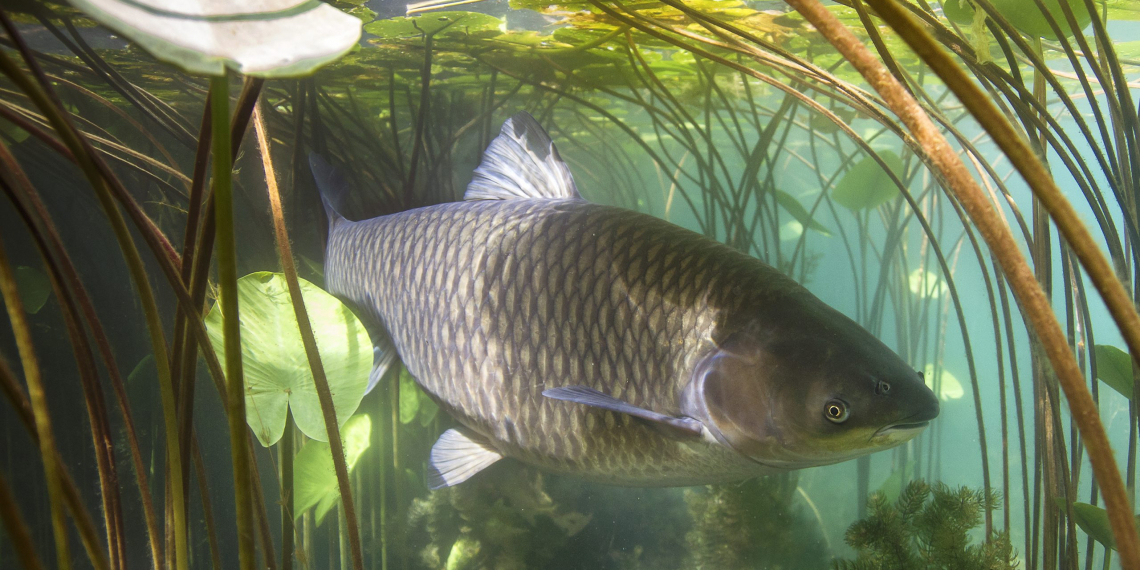 Freshwater fish grass carp (Ctenopharyngodon idella) in the beautiful clean pound. Underwater shot in the lake. Wild life animal carp. Grasskarpfen in the nature habitat with nice backgroundand water lily.